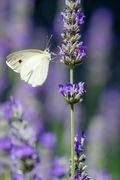 Papillon!!!