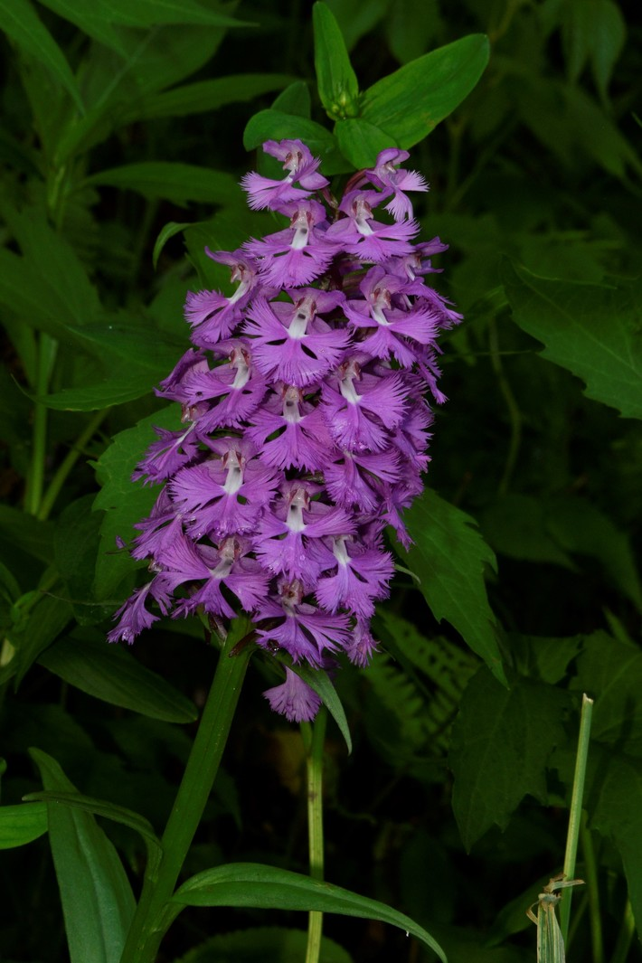 Large Purple Fringed Orchid, BRP