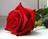 trandafirul_rosu