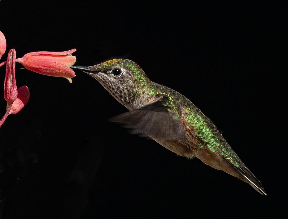 Hummingbird at Yucca Plant