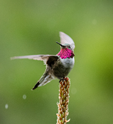 Broad-Tailed Hummer