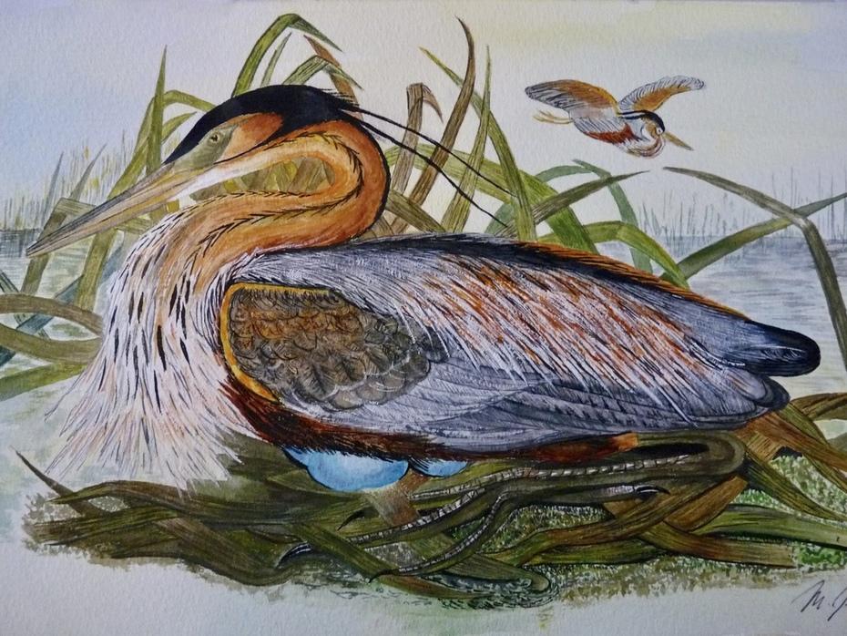 Nesting Purple Heron