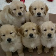 Applecroft Golden Retrievers