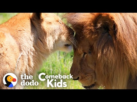 Rescued Circus Lions Touch Grass For The First Time | The Dodo Comeback Kids