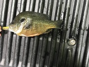 """Cupsaw Green Sunfish or HB 7.5"""""""