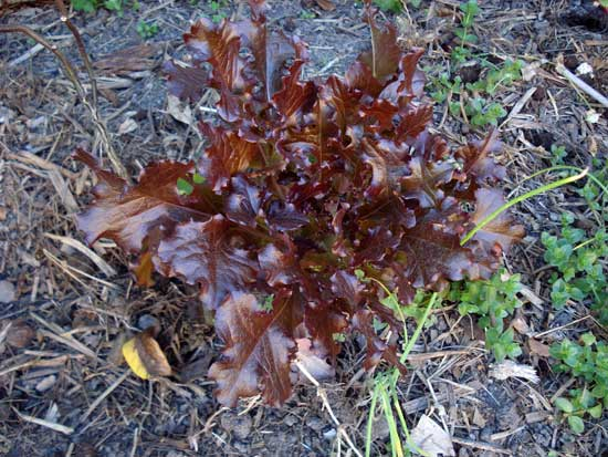 Self-sown red lettuce