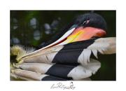 Hornbill_back