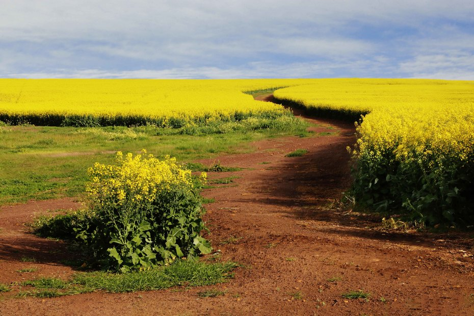 Canola in oorvloed