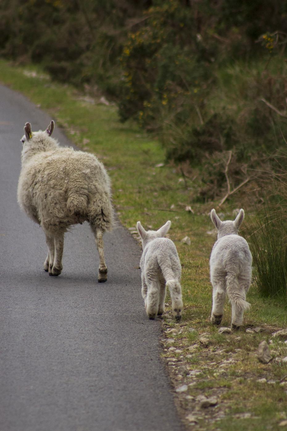 Mum and Lambs