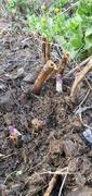 More asparagus shoots