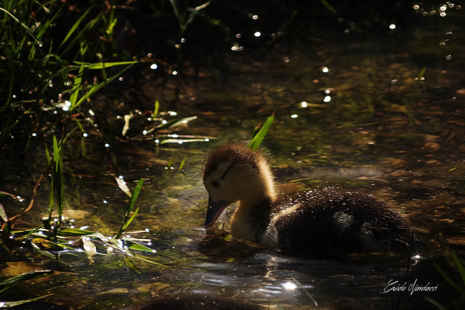 duckling at dawn