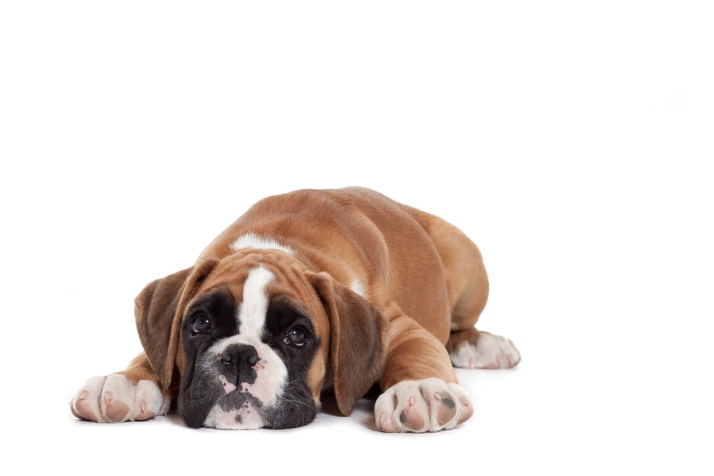 Blog Heart Murmurs In Puppies What To Think Royal Canin