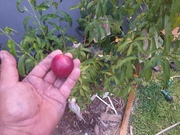 First nectarines