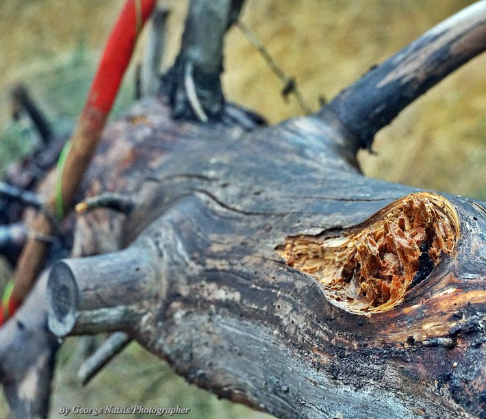 Πεσμένα δέντρα( λεπτομέρεια)