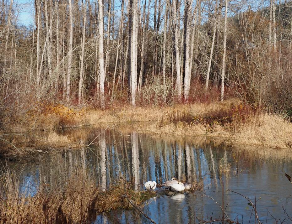 Cowichan Bay swans