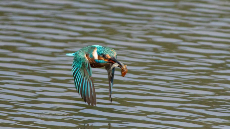 Hungry Kingfisher