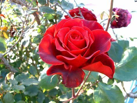 Como está a rosa!