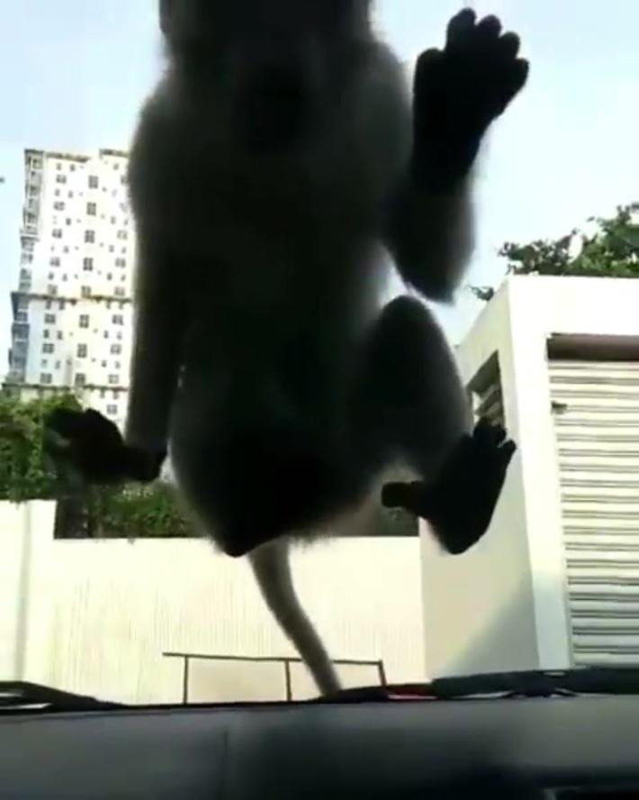 Monkey does it on a car windshield