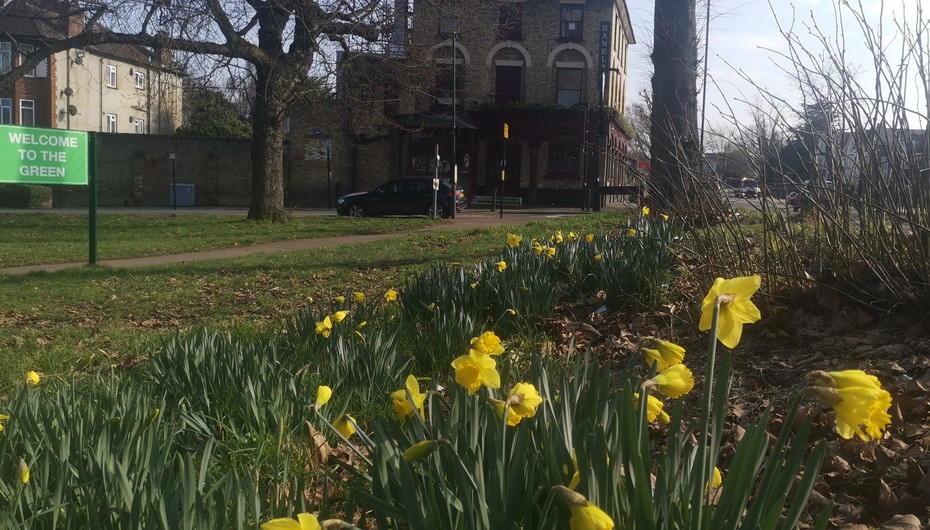 Daffodils on The Green