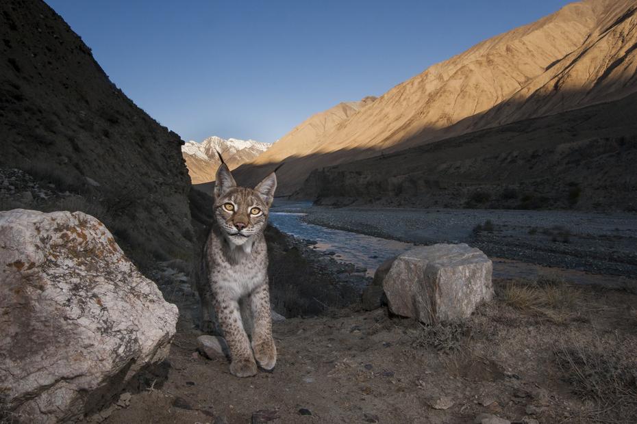 IMG-168452-Eurasian-Lynx-Kyrgyzstan-Sebastian-Kennerknecht-1