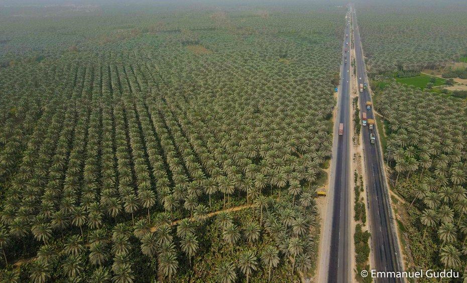 Date Palms in Sindh, Pakistan
