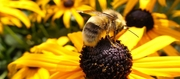 Native bees and how to keep them