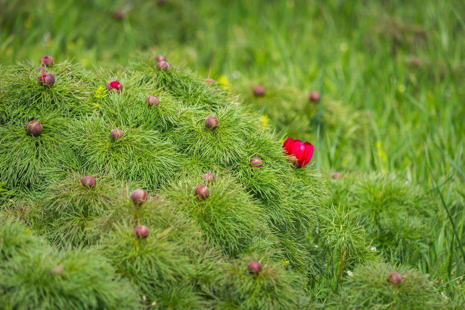 Sztyeppei bazsarózsa (Paeonia tenuifolia L)