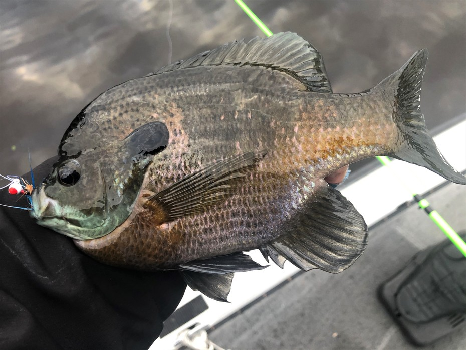 Gills Are Moving Shallow in Many Areas.....5/9/2021
