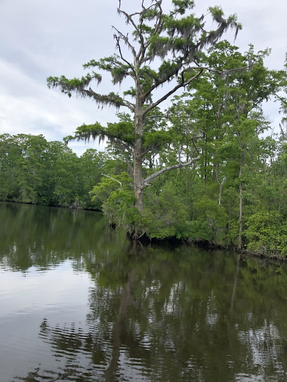Scenic Albemarle- Flooded Cypress in Griffin Swamp, N.C.