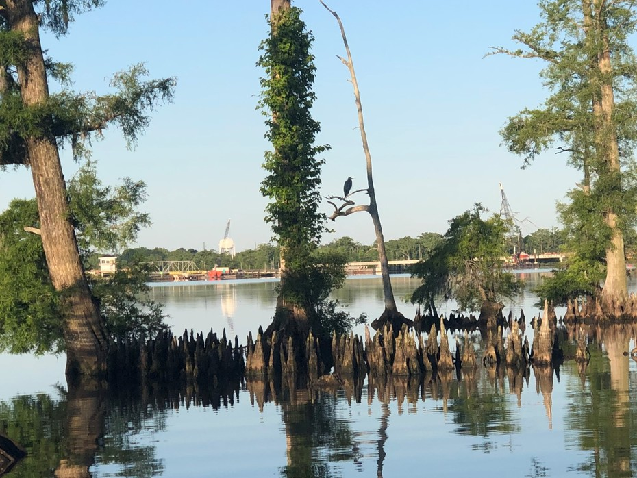 Great Blue Heron Perched Above the Flooded Cypress Flats....5/15/2021