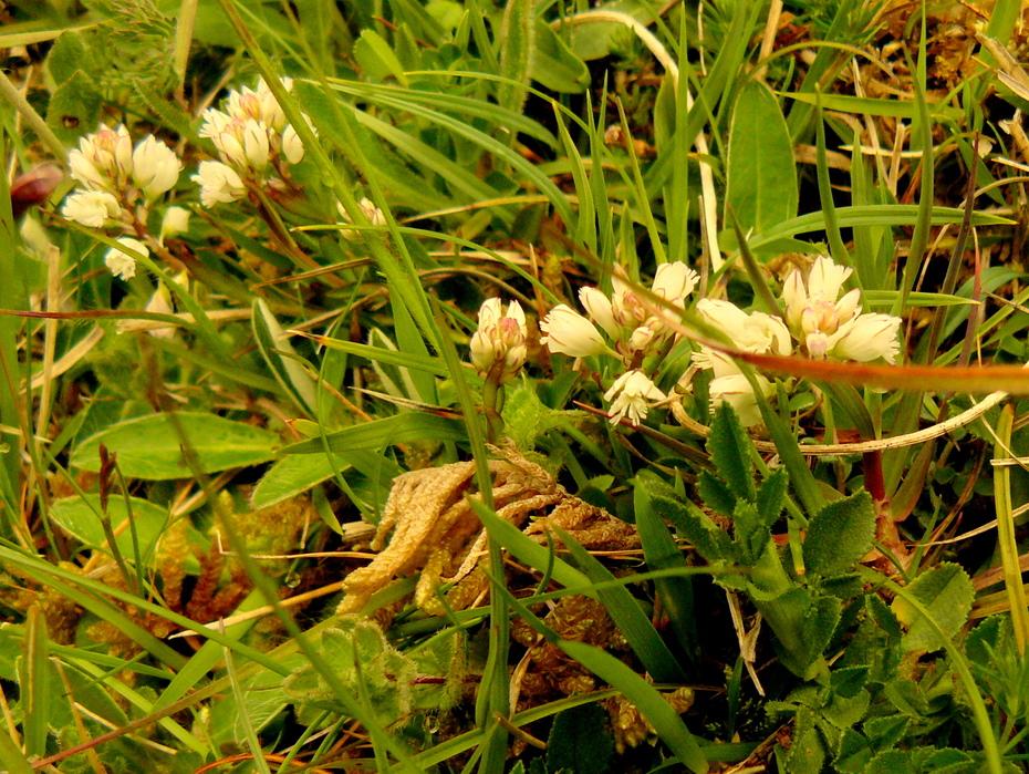 Thyme-leaved sandwort