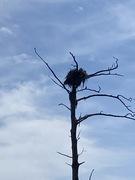 Active Osprey Nest.....6/5/2021