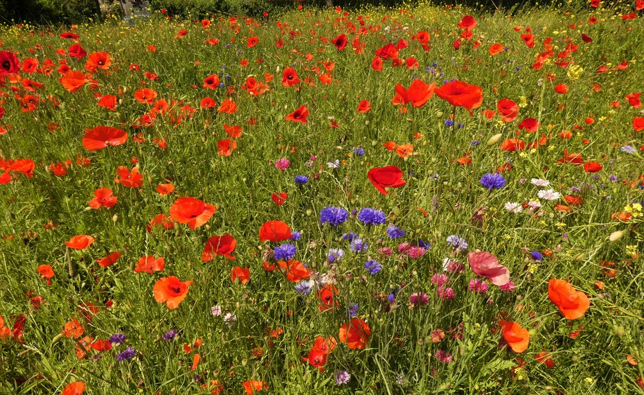 Poppies in profusion, July 14th '21