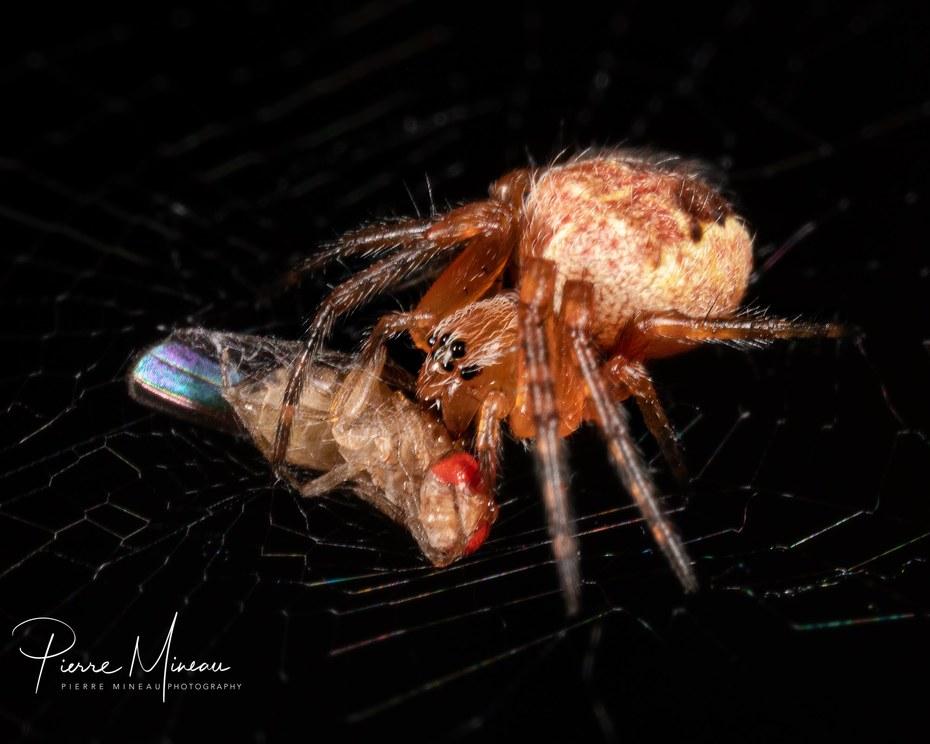 Fruit fly huntress