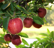 Growing fruit and vegetables at home