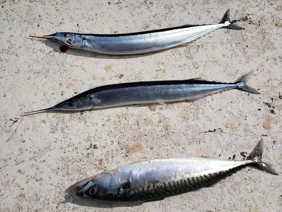 Mackerel and 2 bill fish