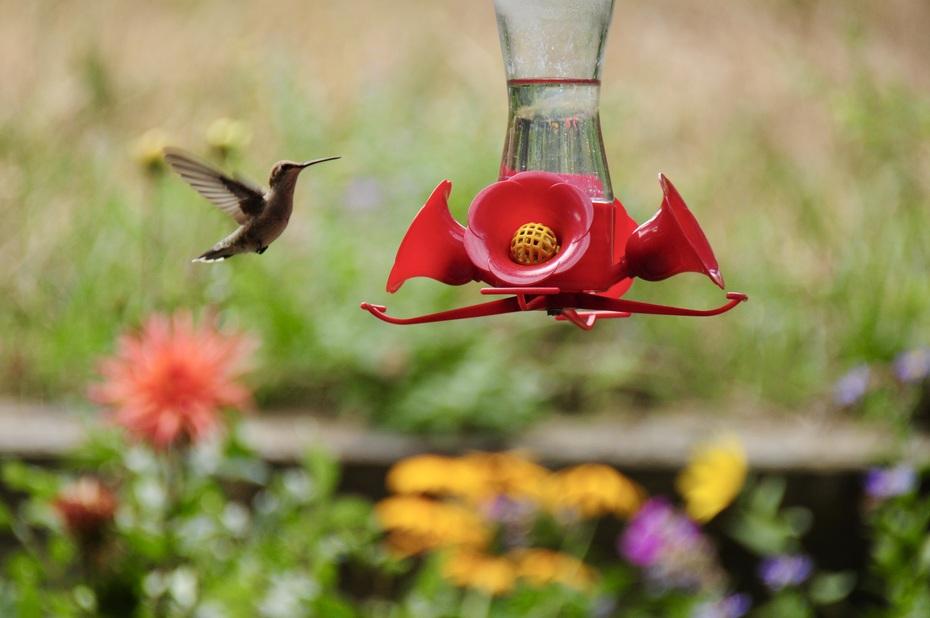 Hummingbird hovering around feeder