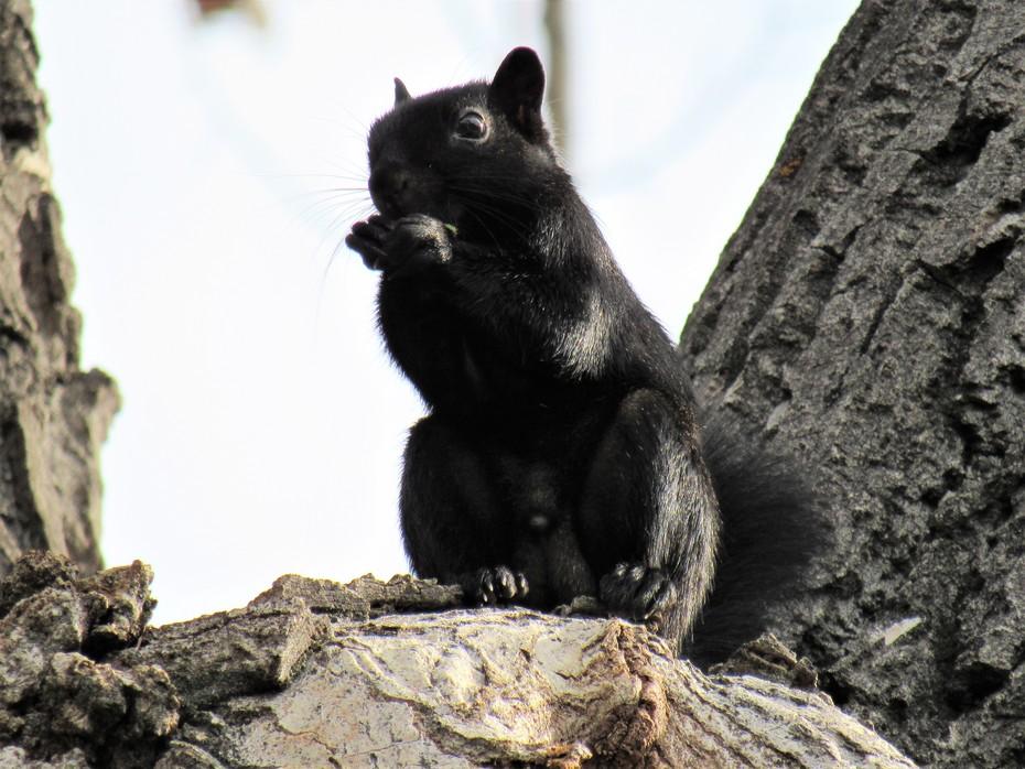Black Morph or Melanistic Squirrel