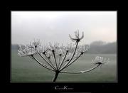 Winter Blossoms II
